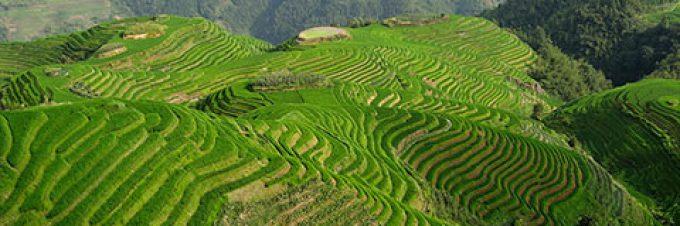 Da wo der Reis wächst